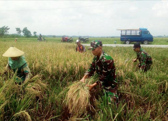 TNI Memanen Padi