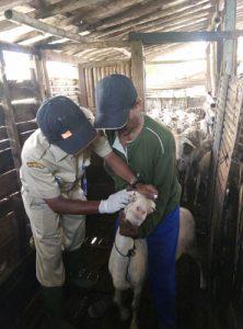 Tim Pengobatan Hewan Ternak