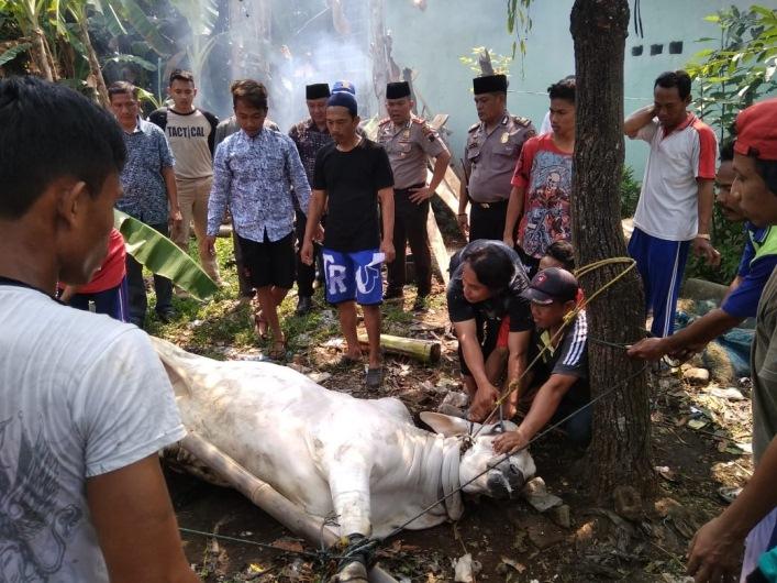 Dua Sapi Kurban Polres Batang Disalurkan ke Nelayan